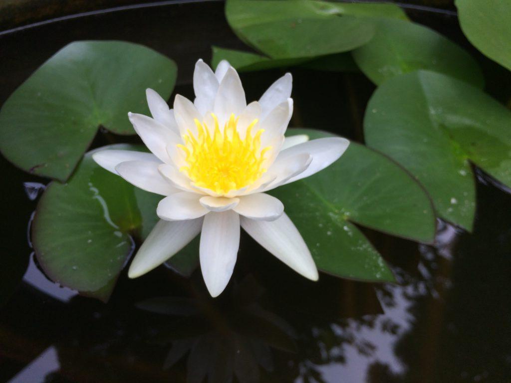 阿佐ヶ谷神明宮蓮の花