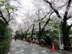 王子神社周辺の桜