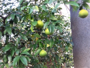 武蔵野八幡宮柑橘系樹木