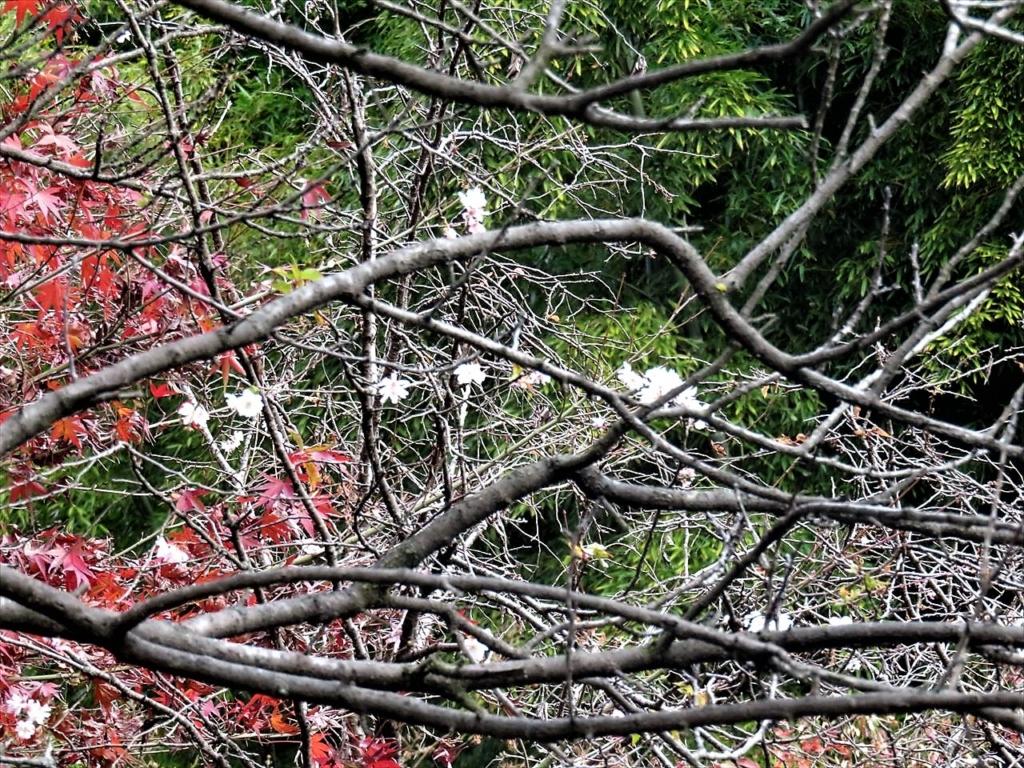 大宮八幡宮十月桜